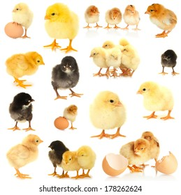 Little chickens isolated on white