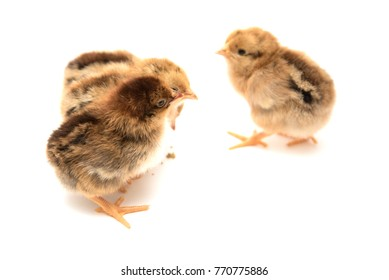 Little chicks stripes on a white background