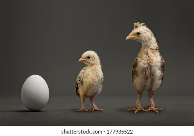 little chicks and white egg on grey background, growth progress concept