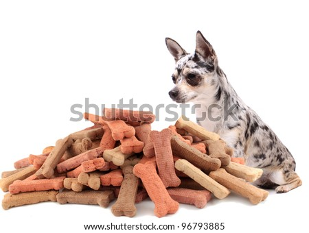 Little chihuahua dog stares at and sits behind large mound of dog treats on a white background
