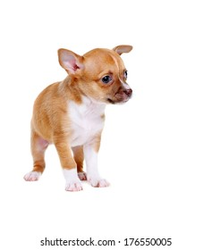 little chihuahua puppy on white background