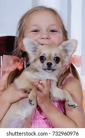 little Chihuahua sits quietly on the arms of his lovely owners/beautiful teen girl and Chihuahua closeup indoors