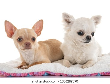 little chihuahuas in front of white background