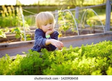 Little child is in community kitchen garden. Raised garden beds with plants in vegetable community garden. Lessons of gardening for kids.