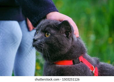 Little child stroking a British blue shorthair cat in harness. Purebred gray cat and kid outdoors.