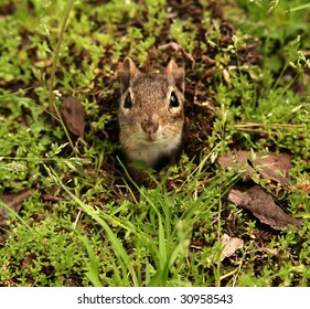 little chipmunk coming out of his burrow hole