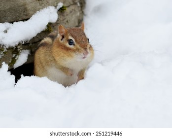 Little chipmunk digging out of the snow