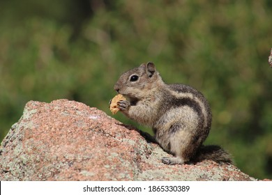 A little chipmunk, also known as a ground squirrel, nibbles on a piece of nut at the edge of a lake in Estes Park.  Little burrowing mammals, chipmunks eat seeds, nuts, berries and small insects.