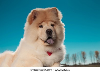 little chow chow puppy dog looks happy and panting against blue sky
