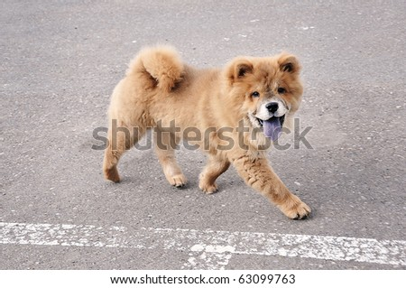 Little Chow Chow Puppy Dog Running Stock Photo Edit Now 63099763