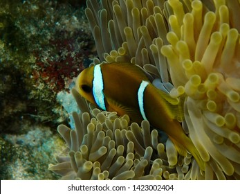 A little clown fish in lagoon of Huahine in French Polynesia.