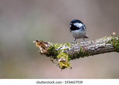Little coal tit perched on a tree. A coaltit is a small songbird.