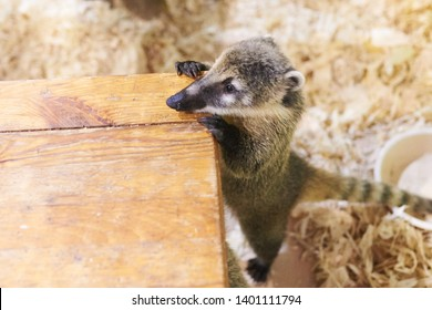 Little coati leans on a chair for any purpose