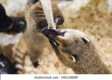 Little coati playing with a chair leg for any purpose
