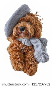 Little Cockapoo in Beret and Scarf