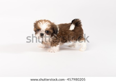 Little Colored Funny Shih Tzu Puppy Stock Photo Edit Now 457980205