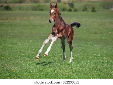 A little colt gallops along on a spring meadow