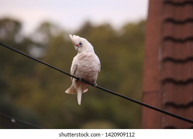 A Little Corella parrot perched on a wire