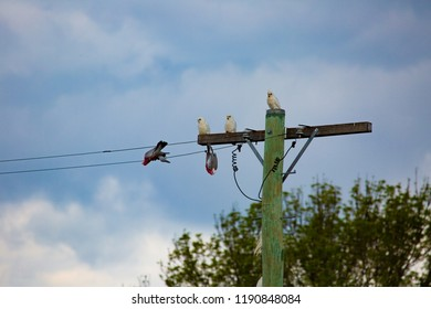 Little corellas (Cacatua sanguinea) watching two Gallahs (Eolophus roseicapilla) make gallahs of themselves on a powerline, Tenerfield, New South Wales, Australia