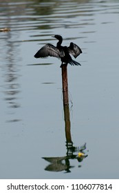 Little Cormorant on drying up its wings in the middle of the lake in Sri Lanka