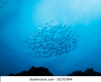LITTLE CORN ISLAND, NICARAGUA: School of silver fish swim  above a coral reef