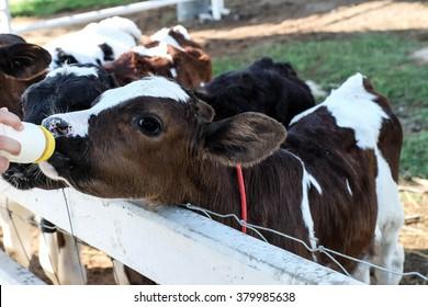Little cow feeding from milk bottle
