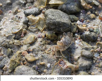 little crab and stone