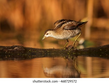 Little Crake,Porzana parva, elusive and very rare bird, mirrors itself in water, looking for water insect against reeds in background. Close up, photo taken from water level. Colorful light, Europe.