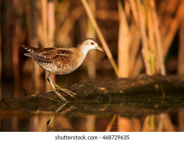 Little Crake,Porzana parva, elusive and very rare bird, living in hidden way, walking on trunk in water against colorful reeds in background.Close up, water level photo. Colorful light, autumn,Europe.