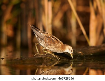 Little Crake,Porzana parva, elusive and very rare bird, living in hidden way, walking on pond shore against colorful reeds in background.Close up, water level photo. Colorful light, autumn,Europe.
