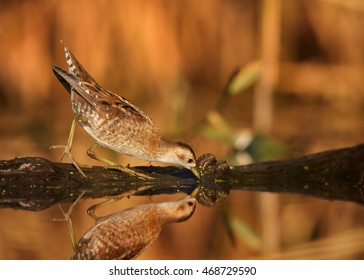Little Crake,Porzana parva,elusive and very rare bird, living in hidden way,looking for insect in water,against colorful reeds in background.Close up, water level photo. Colorful light, autumn,Europe.