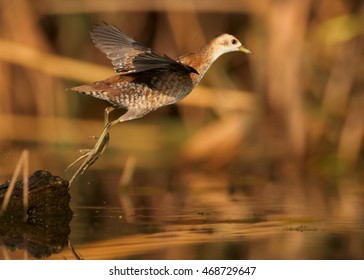 Little Crake,Porzana parva,elusive and very rare bird, ghost of the swamp, flying above water against colorful reeds in background.Close up, water level photo. Colorful light, autumn,Europe.