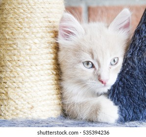 little cream cat on the scratching post,siberian breed