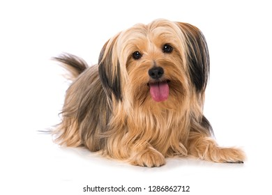 Little cross breed dog lying isolated on white background and looking to the camera