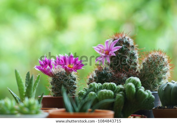 Little cuctus pot plant with blooming flower on wood table with blur green garden background