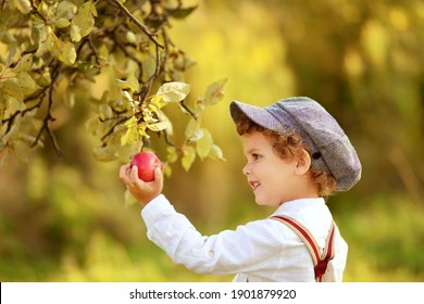 Little curly boy in a cap picks an apple from a branch in an apple orchard