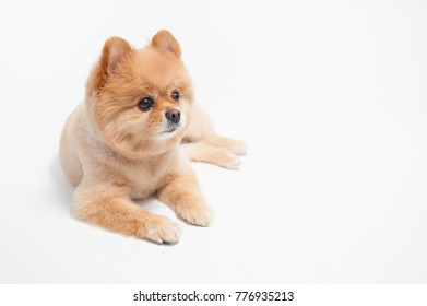 Little cute brown short hair pomeranian dog portrait, Puppy pet lying on white background.