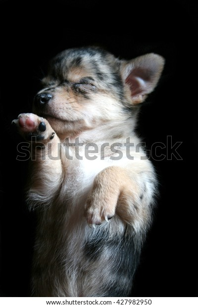 Little Cute Chihuahua Puppy Blue Merle Stock Photo Edit Now 427982950