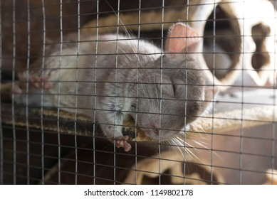 A little cute chinchilla sleeps peacefully in her cage