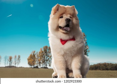 little cute chow chow puppy dog is sitting, outdoor picture in a field, against blue sky