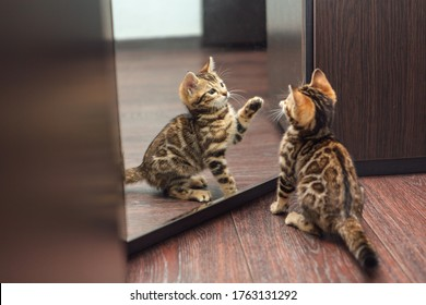 Little cute curious bengal kitten looking into the mirror of a wodrobe indoors
