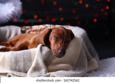 Little cute dachshund puppy on Christmas background