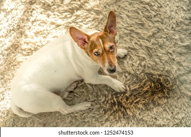 little cute dog Jack Russell Terrier is lying on a white carpet near a wet puddle with urine, stained floor, guilty sad look, top view