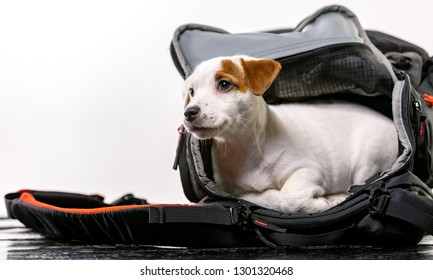 Little cute dog sits in a black bag and looking forward - Jack Russell Terrier