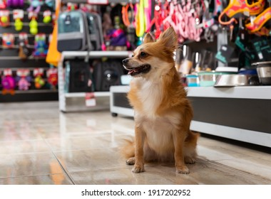 Little cute doggy walking in pet shop on background of shelves with dog accessories