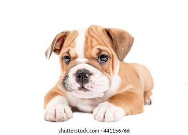 English Bulldog Puppy Images, Stock Photos & Vectors