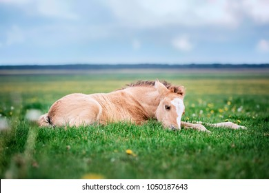 Little cute foal lying in grass on a summer meadow.