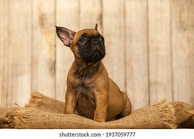 little cute French bulldog puppy