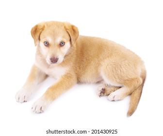 Little cute Golden Retriever puppy, isolated on white