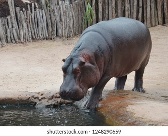 Little cute hippopotamus walk to pond for drinking water.